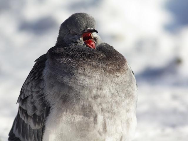 rock dove yawning by Tatiana Bulyonkova cc