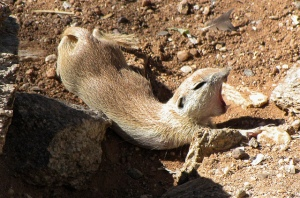 yawning prairie dog by SearchNetMedia cc
