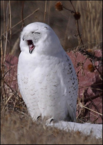 yawning snowy owl by Pat Gaines cc