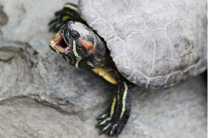 yawning turtle by Michael Ransburg cc