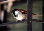 012312 male house sparrow by Sahana Chattopadhyay cc