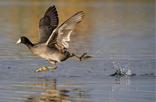 American Coot Takeoff (Photo: Matthew Paulson, CC license)