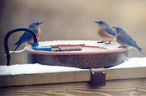 BluebirdBath (Photo: Rob and Jane Kirkland, CC license)