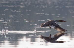Merganser taking flight 2 (Photo: Mark Dalpe, CC license)