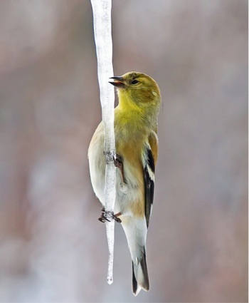 American goldfinch drinking from an icicle (Photo: JDB Photos, CC license)