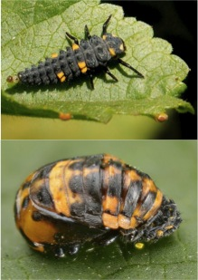 ladybug development stages