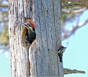 nestling pileateds by Larry McGahey cc