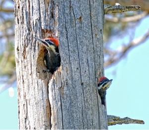 nestling pileateds by Larry McGahey cc