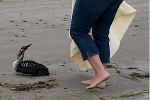 6 of 6 Pacific Loon in Distress (Photo: Mike Baird, CC license)