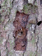 pileated foraging hole by Naomi Van Tol cc