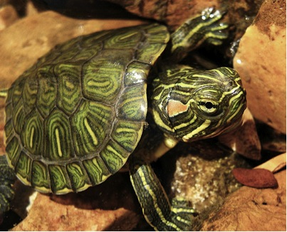 Red-eared sliders take a less extreme approach to winter survival than ...