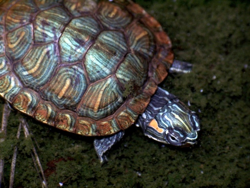 red-eared slider by Charles Lam cc