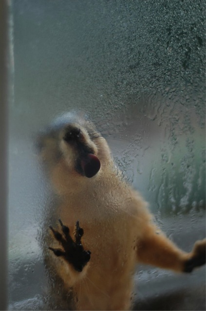 Squirrel lapping water from window (Photo David Grant CC license) & squirrels | Next-Door Nature