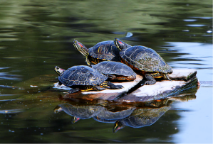 sunning r-eared sliders by Alan Vernon cc