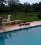 mallards on FL vacation by Becky Arnold, used with permission