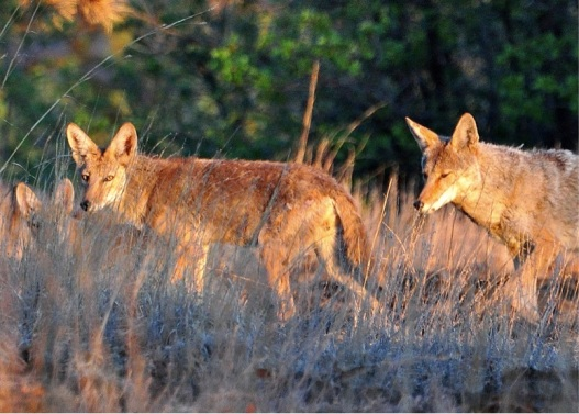 coyotes by larry lamsa creative commons license