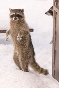 bipedal raccoons by David~O cc