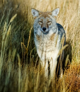 coyote in grass by trey ratcliff, creative commons license