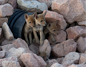 coyote pups by zac garrett creative commons license