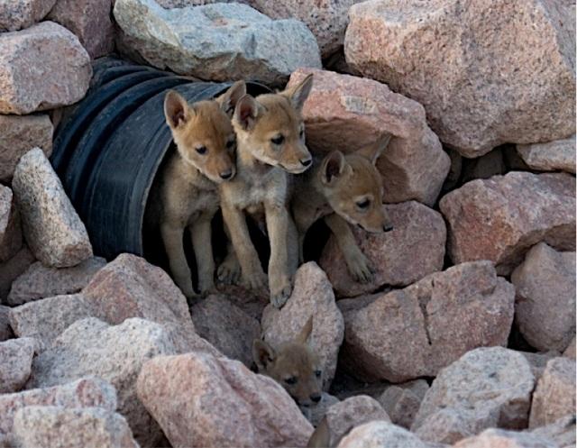 coyote pups by zac garrett creative commons license
