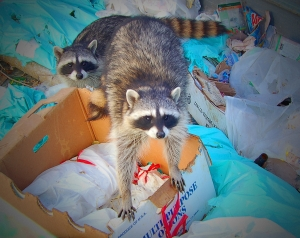 dumpster raccoons by zeetz jones cc