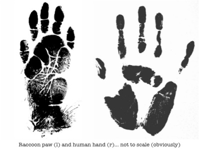 raccoon paw and human hand