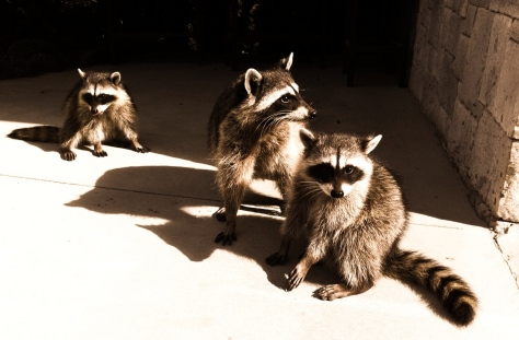 Raccoons by John Biehler, Creative Commons license