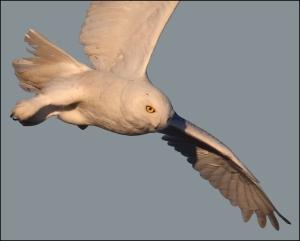snowy owl in flight by pat gaines cc