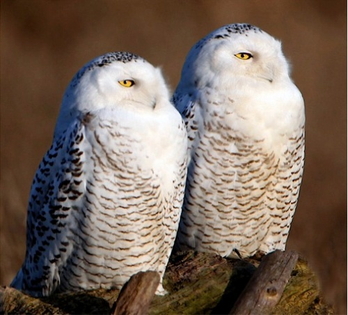 snowy owls (Photo: winnu, Creative Commons license)