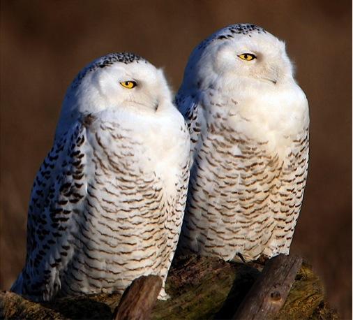 snowy owls (Photo: winnu, Creative Commons license)