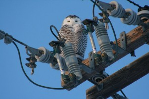 snowy owl on a telephone pole (Photo: Todd Radenbaugh, Creative Commons license)