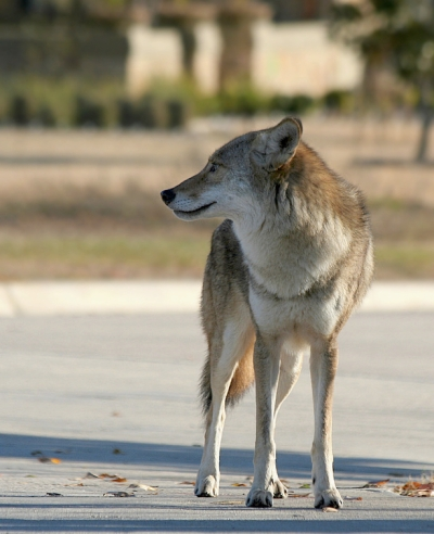 urban coyote by ken slade creative commons license