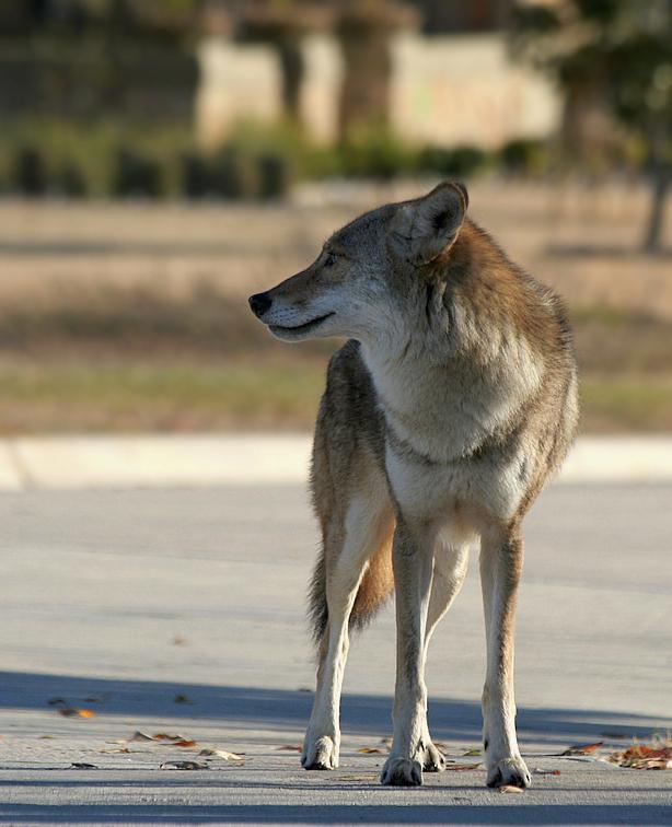 Coyote CC attribution