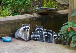 urban raccoons by liz west cc