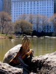 Red-eared slider turtle in Central Park, New York City (Photo-Eddie Crimmins, Creative Commons license)