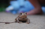 031212 Toad in St. Louis by Heath Harris, Creative Commons license