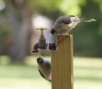 Noisy miners try to figure out the tap in Sydney, Australia (Photo: Richard Taylor)
