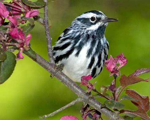 black-and-white warbler (Photo: Friends of Mount Auburn, Creative Commons license)
