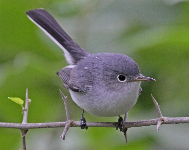 blue-gray gnatcatcher (Photo: Jerry Oldenettel, Creative Commons license)