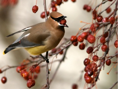 Cedar waxwing (Photo: Eve Fraser-Corp, Creative Commons license)