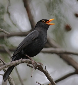 common blackbird (Photo: Oystercatcher, Creative Commons license)