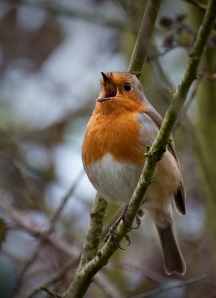 European robin (Photo-Steve Harris, Creative Commons license)