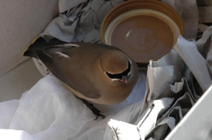 Injured waxwing (Photo: Churl Han, Creative Commons license)