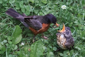 Male robin and fledgling (Photo: Jon Erickson, Creative Commons license)