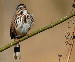 song sparrow (Photo: TC Davis, Creative Commons license)