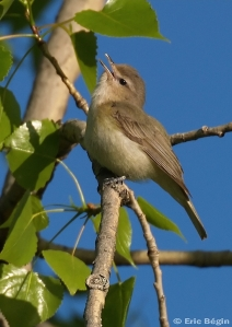 warbling vireo (Photo: Eric Bégin, Creative Commons license)