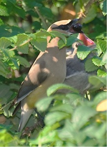 Cedar waxwing and chick (Photo: Alan Huett, Creative Commons license)