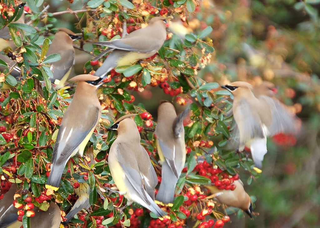 Wobbling waxwings updated reprint next door nature for Arbustos de jardin
