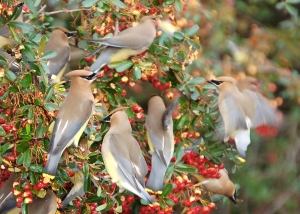 Waxwing flock on pyracantha (Photo: Bob Muller, Creative Commons license)