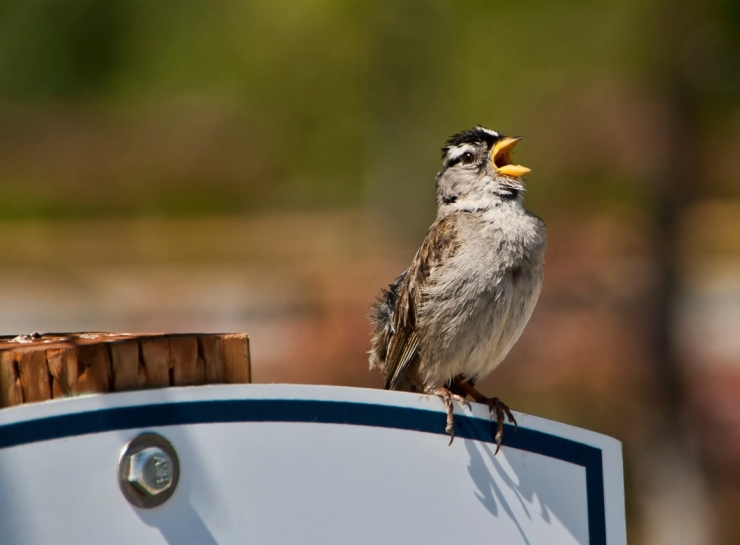 white-crowned sparrow by KaCey97007, Creative Commons license